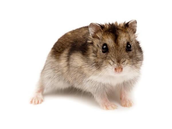 A Winter White Russian dwarf hamster