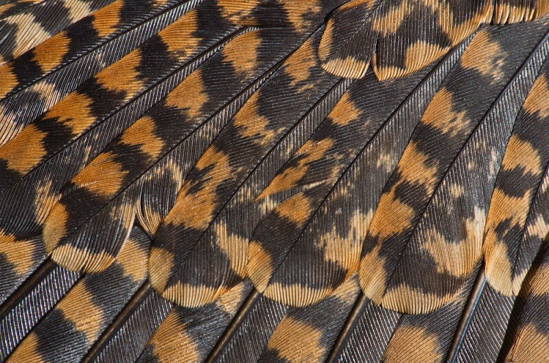 Woodcock feathers have evolved small ridges, which they use to make the mating sounds known as drumming or roding.