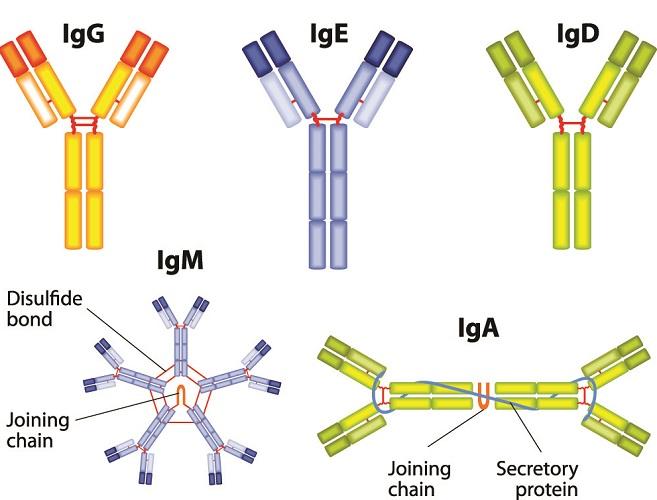 antibodies ige igg iga igm