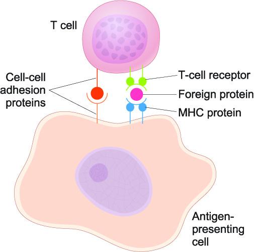 antigen presenting cells APC receptors T cell lymphocyte leukocyte