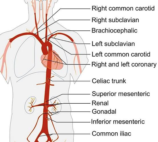 aorta branches artery blood vessel vasoconstriction