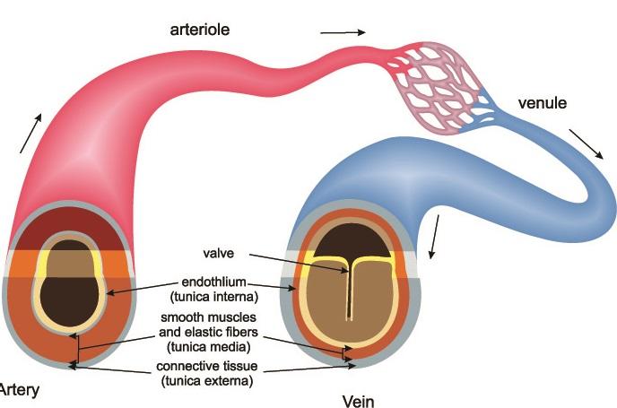 artery vein capillary blood vessels vasoconstriction vasodilatation vasodilation