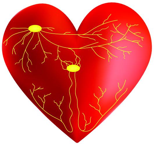 heart conduction SA AV node bundle His branch purkinje