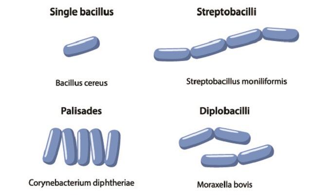 bacilli arrangements streptobacilli palisades diplobacilli