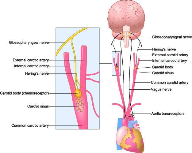 baroreceptors vasodilation stretch receptors blood vessels aorta artery carotid sinus