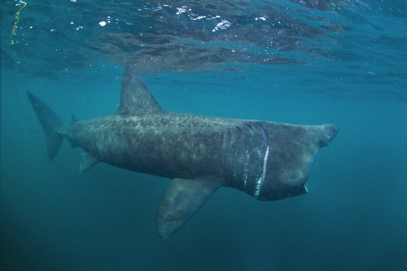 A baskning shark feeding near the surface, with its jaw fully exteneded.