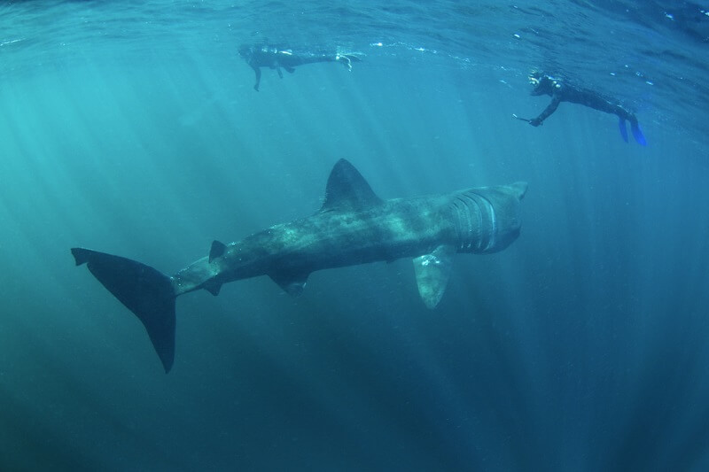 A juvenile basking shark swims by two snorklers, dwarfing their size.
