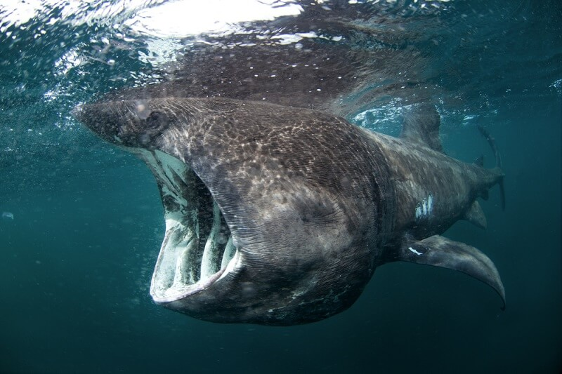 A full-grown Basking Shark filters plankton from the water.