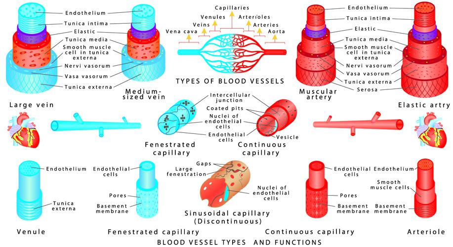 blood vessels artery arteriole capillary venule vein vasoconstriction vasodilation