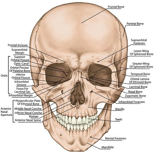 bones of face skull