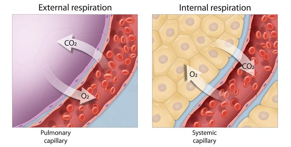 capillary respiration