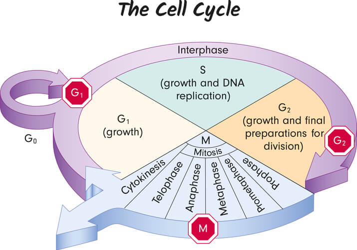 Cell cycle showing the G1, S, and G2 phases with checkpoints, along with the steps of mitosis