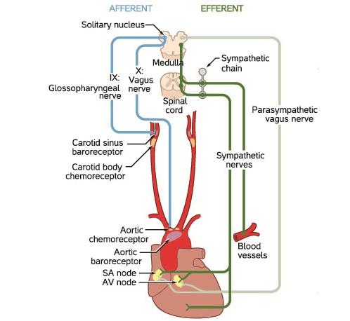 autonomic CNS medulla control heart rate