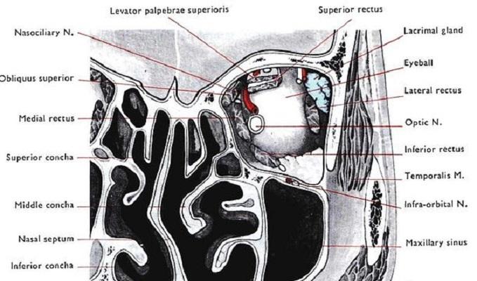conchae turbinates nose nasal cavity ethmoid superior middle inferior