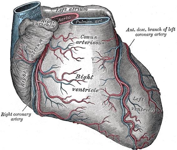 coronary sulcus atrioventricular groove coronary sinus heart venous