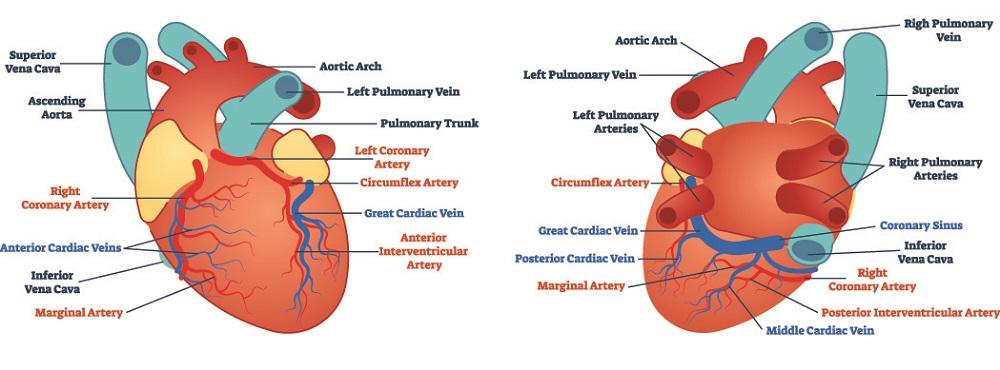 coronary vessels posterior anterior heart coronary sinus