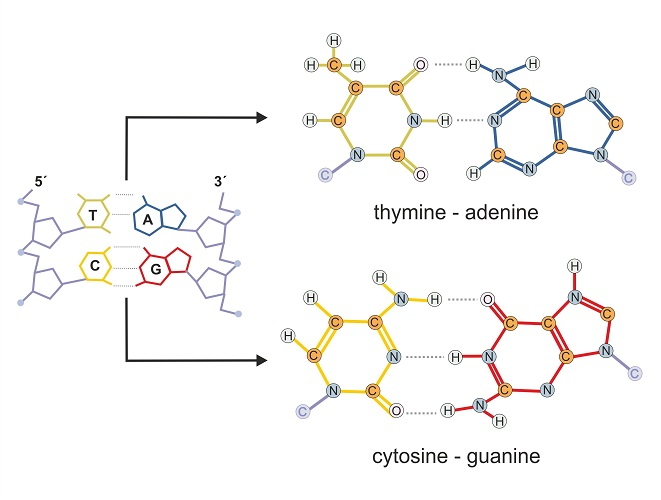 nucleobase pairs thymine adenine cytosine guanine DNA
