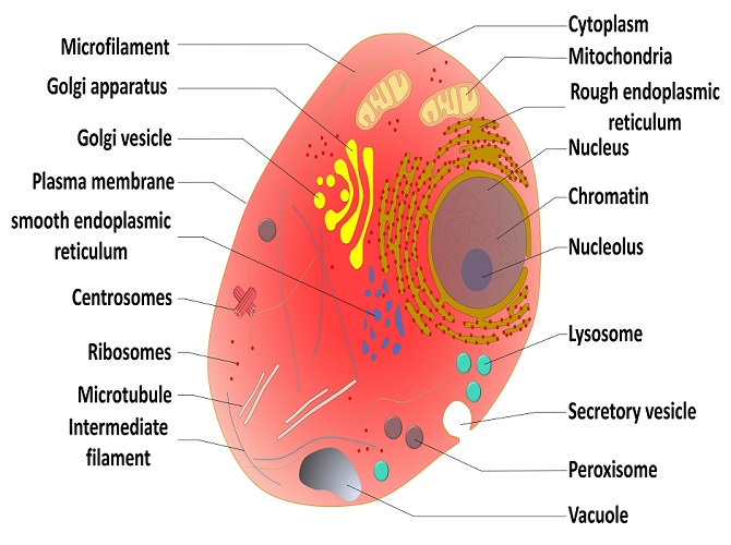 eukaryote cell organels nucleus ribosomes golgi apparatus mitochondria endoplasmic reticulum