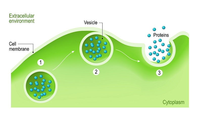 exocytosis protein synthesis transport extracellular intracellular