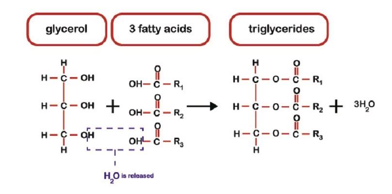 fatty acids triglyceride glycerol difference