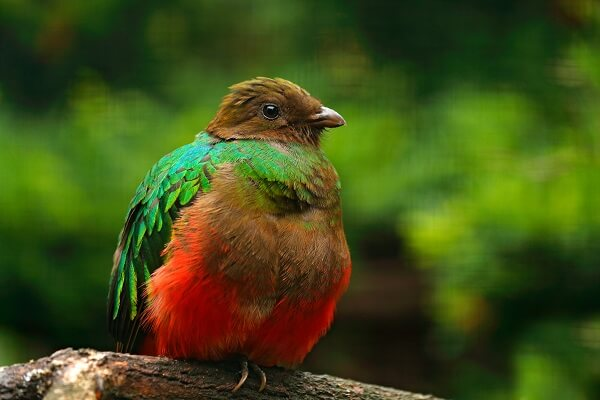 Golden-headed quetzal showing off its bright green plummage.