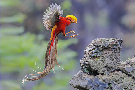 Golden pheasant flying onto rocky perch