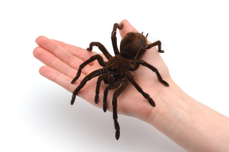 A goliath birdeater easily fills up a human hand, with the body mostly covering an average palm.