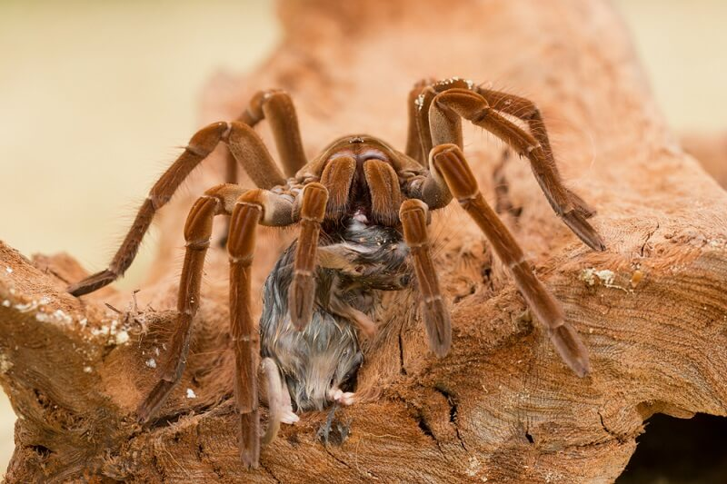A goliath birdeater drags an adult mouse back to its burrow to consume