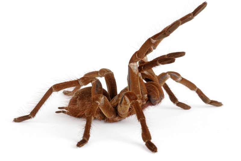 A goliath birdeater takes a defensive position, front legs held high to make itself look bigger.