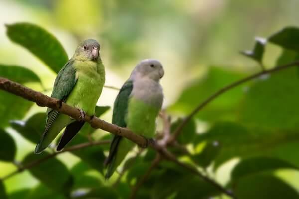 Two grey-headed lovebirds sitting on a branch