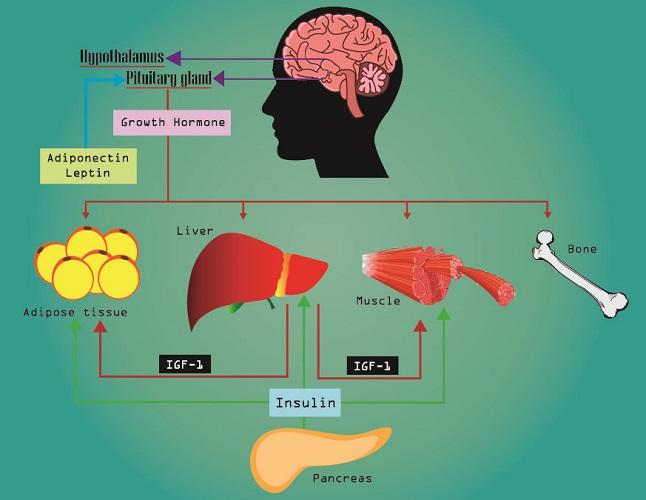growth hormone pathway pituitary liver pancreas adipose