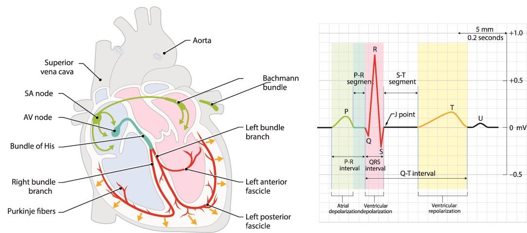 ecg heart conduction contraction systole diastole p wave qrs complex T