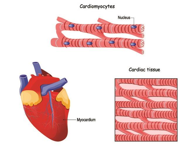 cardiac muscle heart cardiomyocytes contraction