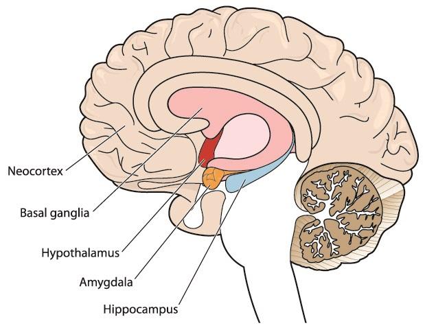 hypothalamus brain diencephalon HPA axis