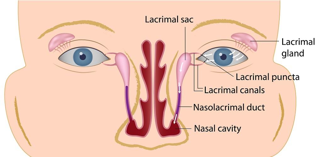 lacrimal apparatus bone sac duct nasal eye tears