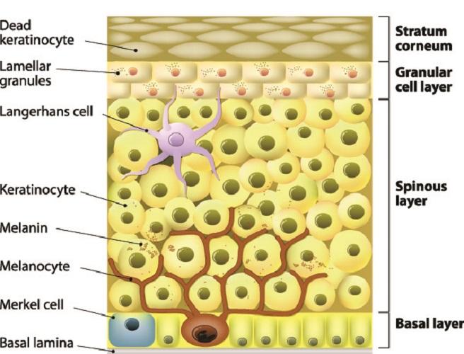 langerhans cell skin dermal dermis