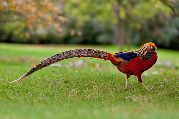 A male Golden pheasant walking on grass