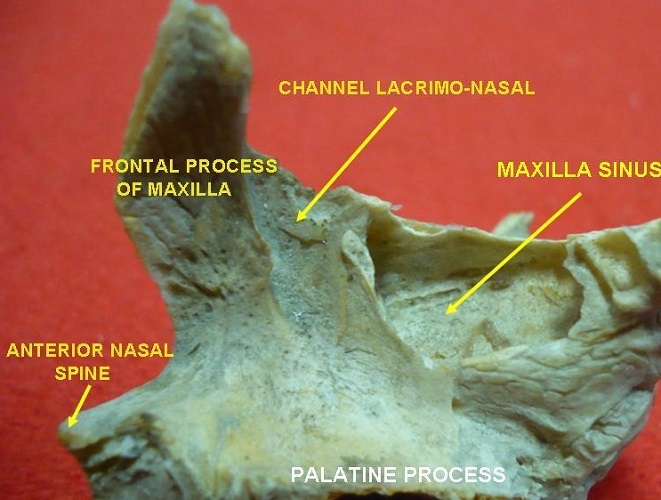 maxilla bone skull lacrimal duct bone bones frontal process palatine