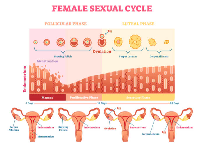 Steps of the follicular phase, ovulation, and luteal phase with uterine wall thickening over a 28 day period