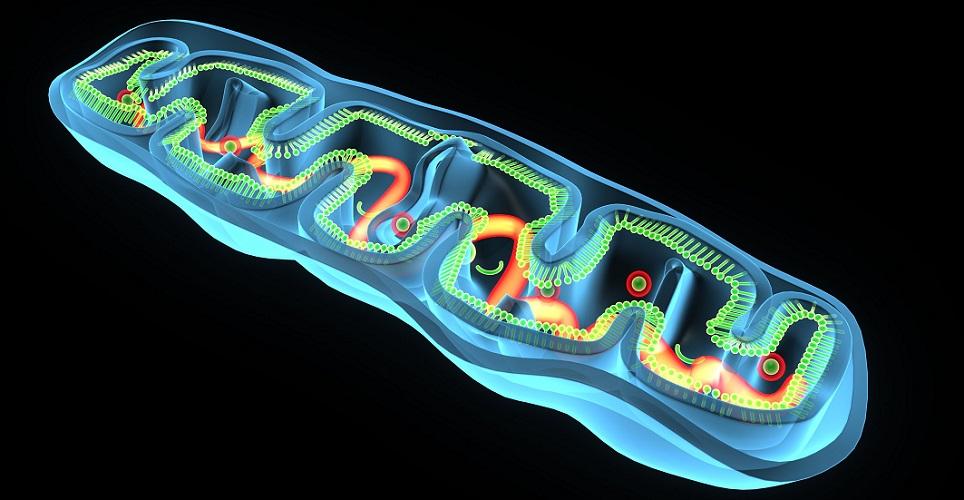 mitochondria mitochondrion ATP ADP energy metabolism