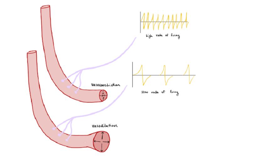 nerve supply blood vessel wall vasoconstriction