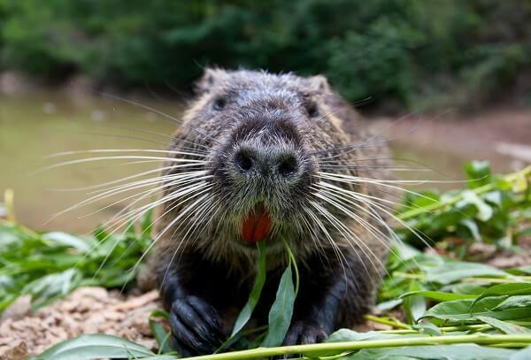 A nutria rat eating vegetation on a river bank