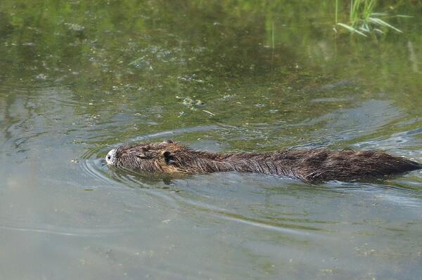 a nutria rat swimming