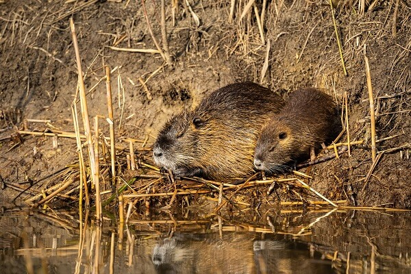 Two nutria rats on the waterside, surrounded by eaten vegetation