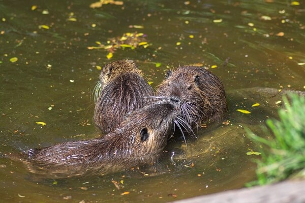 Three nutria rats together in the water.