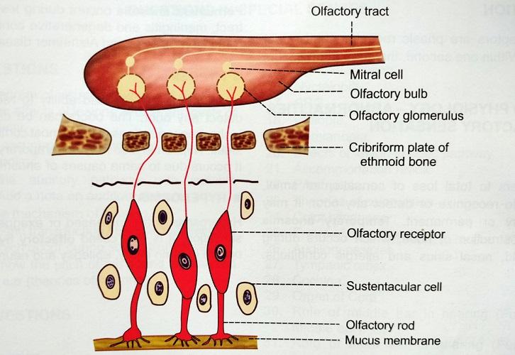 olfactory pathway nerve receptor bulb cribriform plate