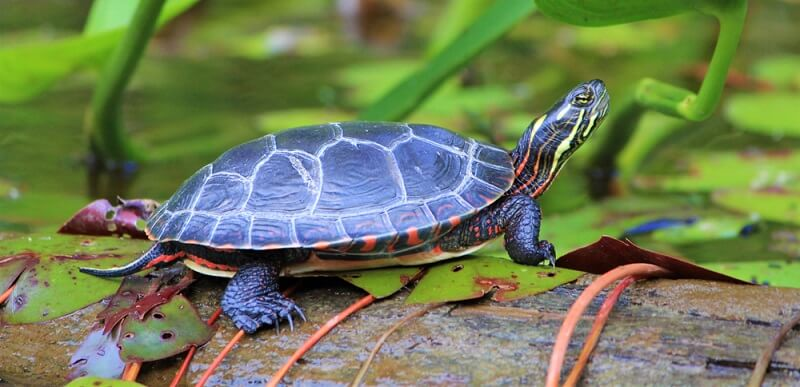 A Painted Turtle basks in the sun in a lily pond.