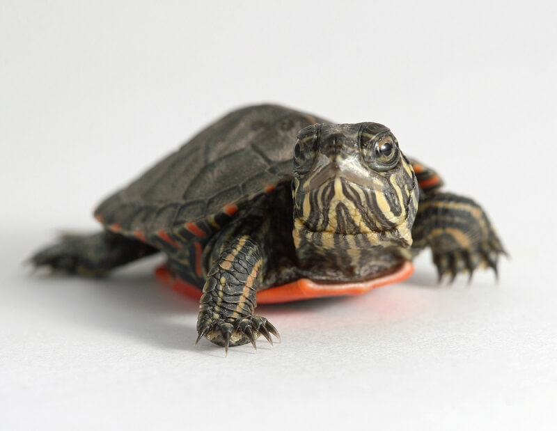 A baby painted turtle peaks out of its shell.