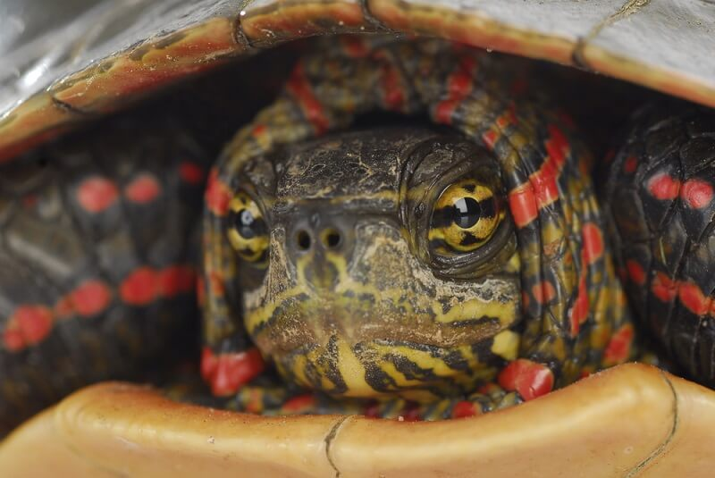 Even the eyes of a painted turtle have complex patterns!