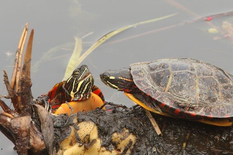 A male and female painted turtle engage in a mating ritual.